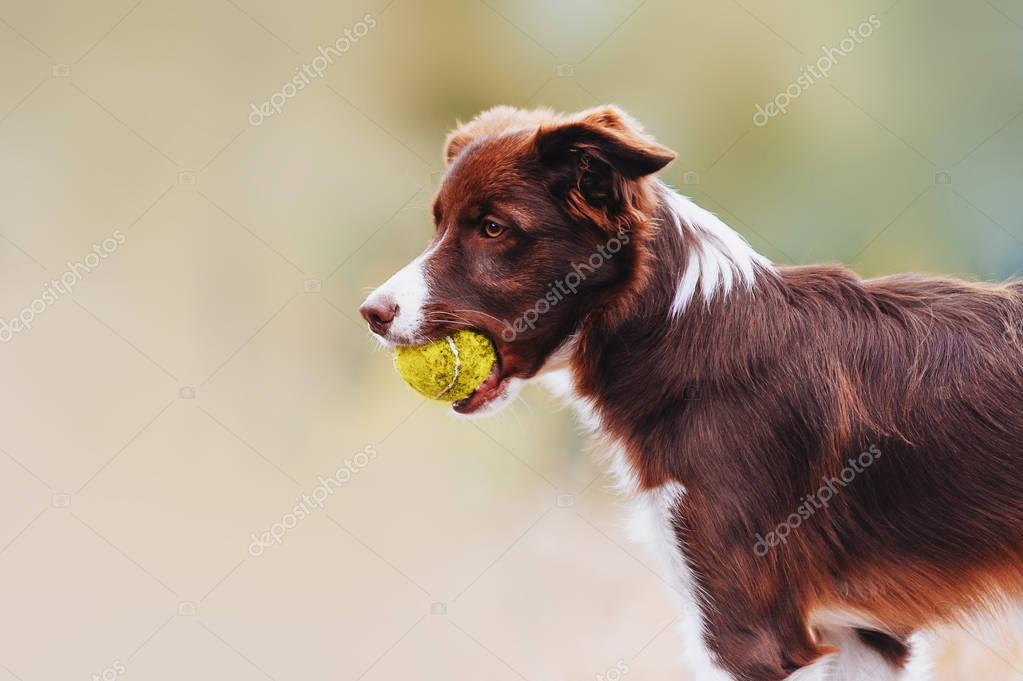 Beautiful chocolate breed border collie dog standing with a toy in his mouth
