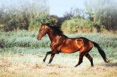 Stallion della baia bellissimo con lunga criniera al galoppo.