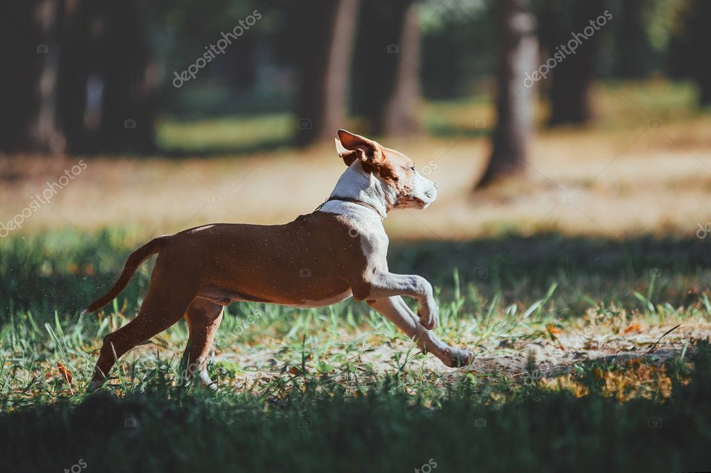 Handsome young dog runs across the field on forest background.