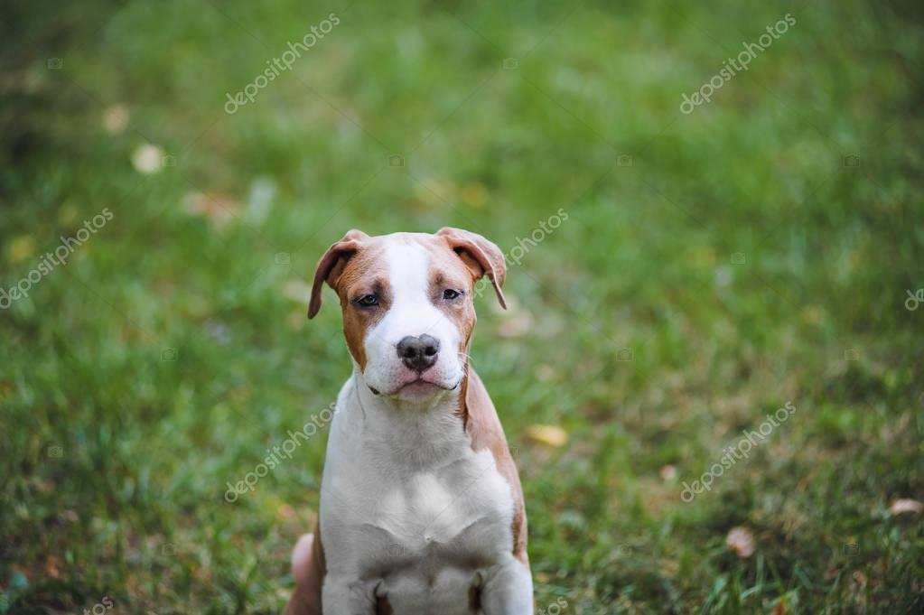 Portrait of puppy American Staffordshire Terrier.