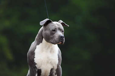 Beautiful portrait of the breed American Staffordshire terrier.