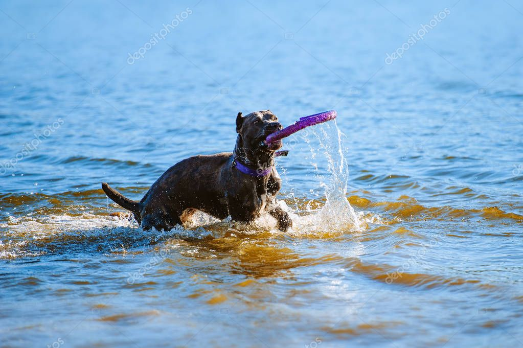 Cane Corso catches the toy in the water. A big blue suit dog is played
