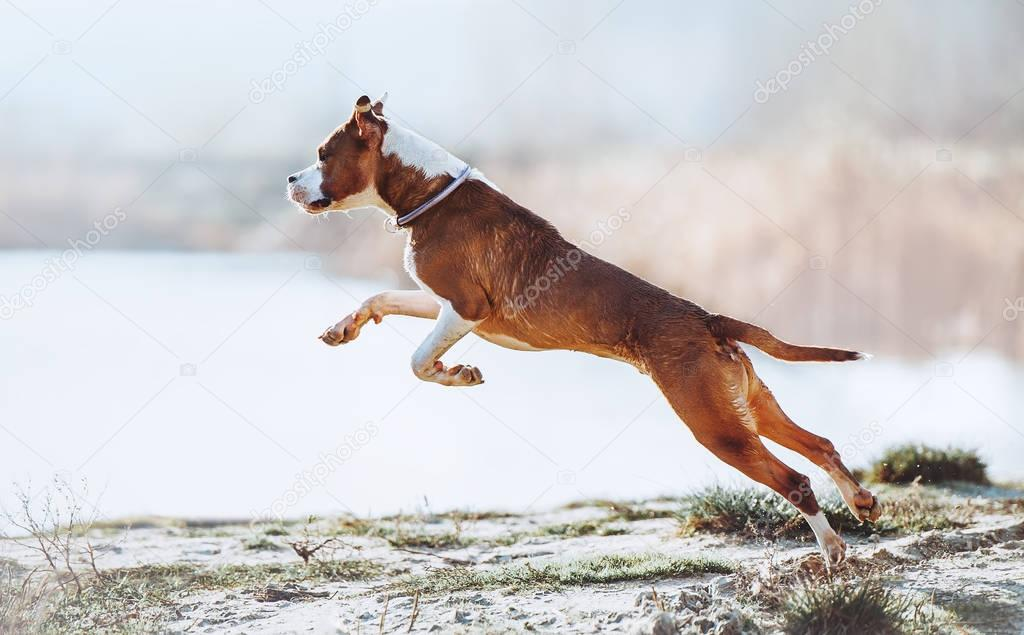 Beautiful young puppy jumping and frolicking on a light background