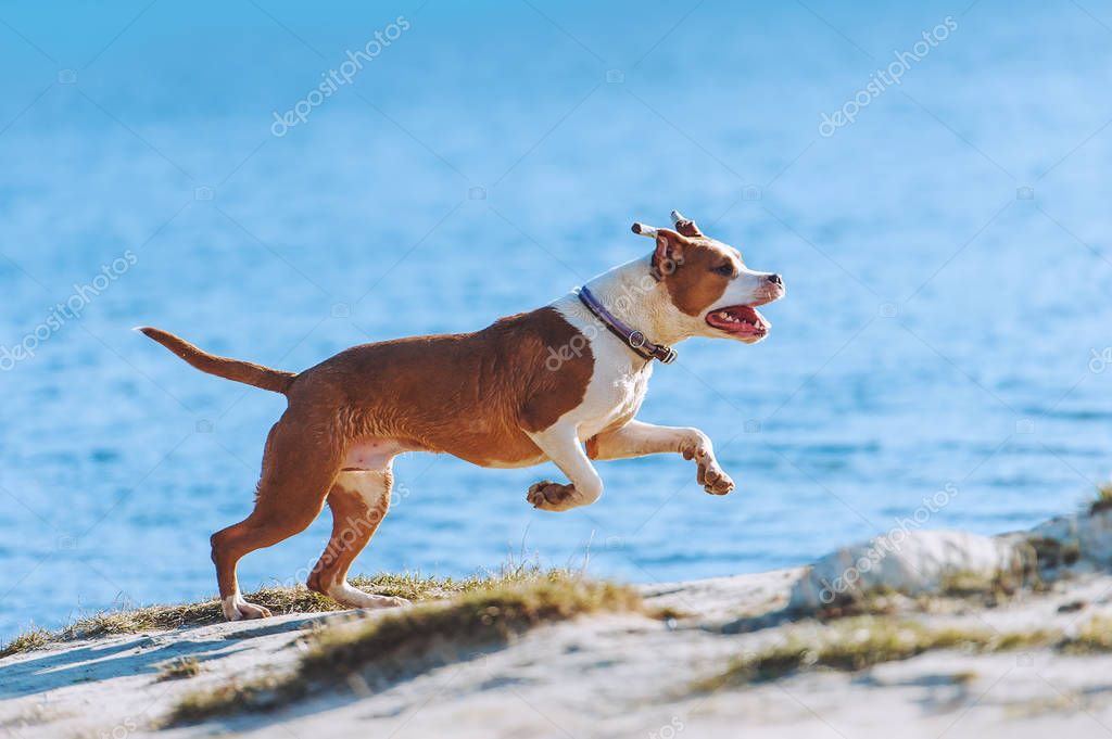 A beautiful white-brown male dog breed American Staffordshire terrier runs and jumps against the background of the water