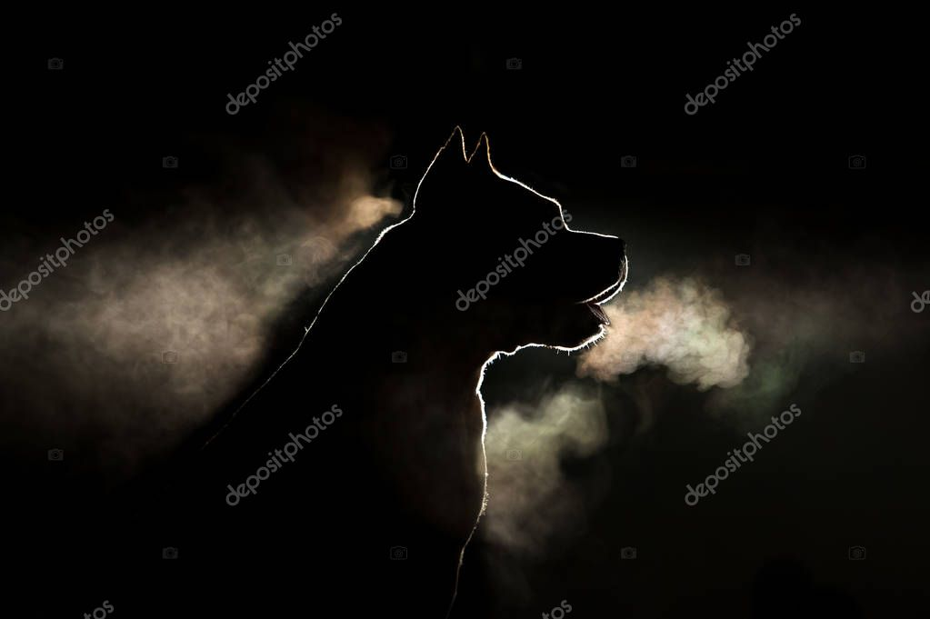 Silhouette of a breed of dog breeds American Staffordshire Terrier in backlight on a black background. Portrait of a dog that is steamingactiveamericanamerican staffordshire terrieramstaffanimalanimalsbackgroundbacklightbeautifulbeautybreathbreedbul