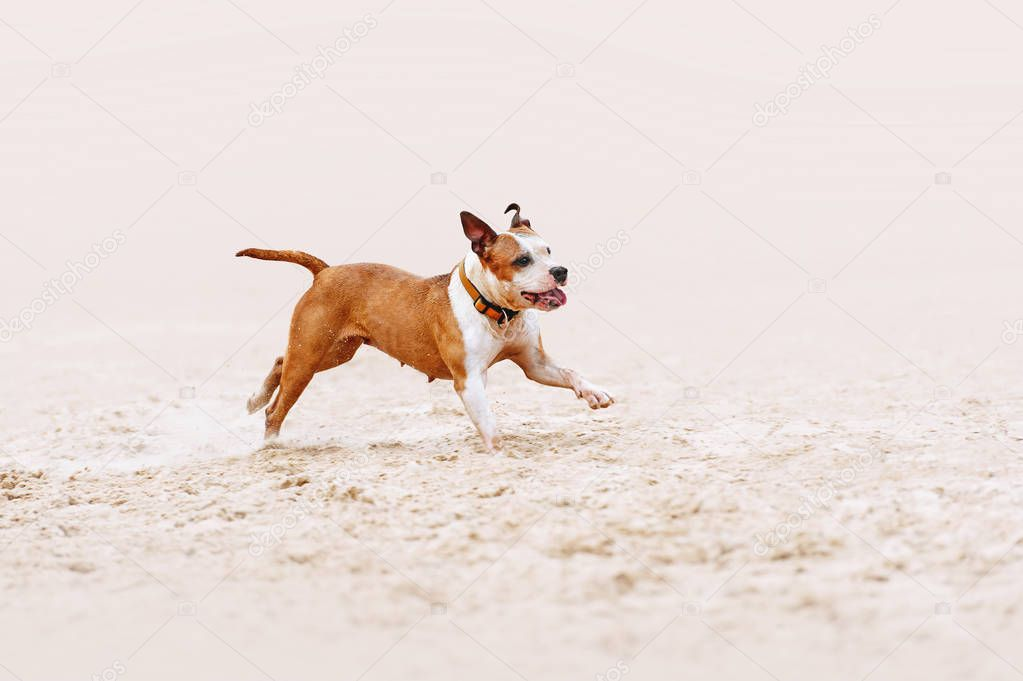 Beautiful muscular dog of the breed American Staffordshire Terrier runs a gallop over the sand on a blurred background