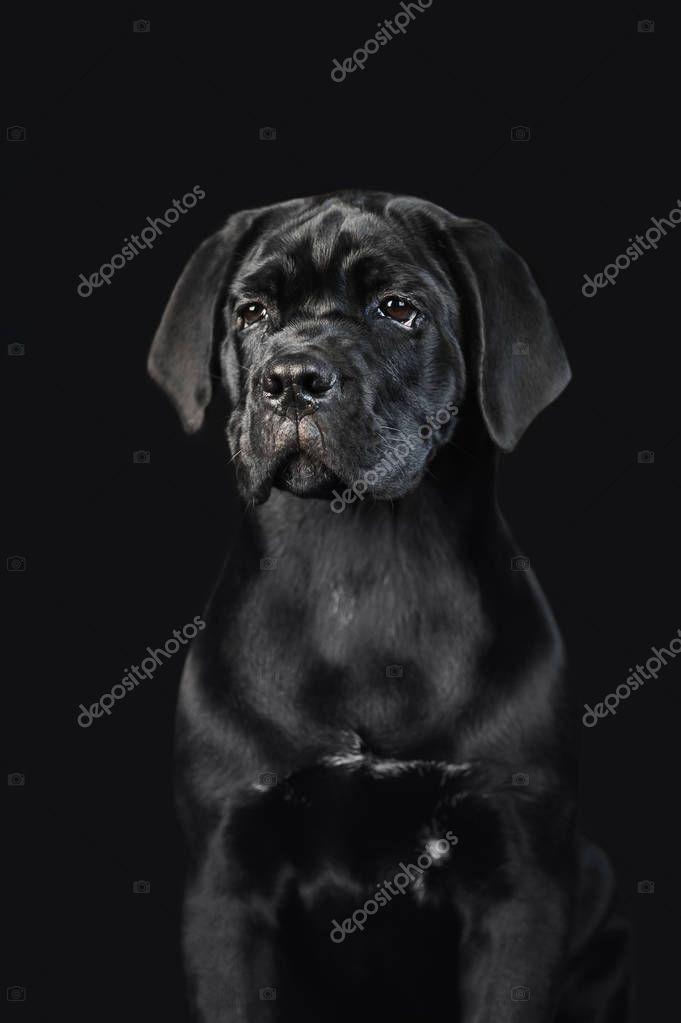 Black puppy Cane Corso on a black background. Portrait of a cute puppy closeup