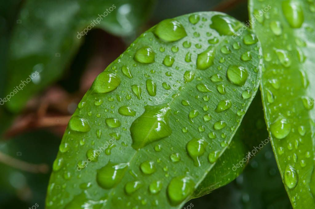 raindrops on ficus benjamin leaves