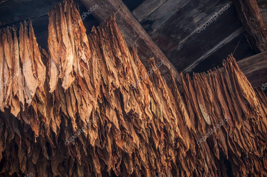 suspended tobacco leaves in barn