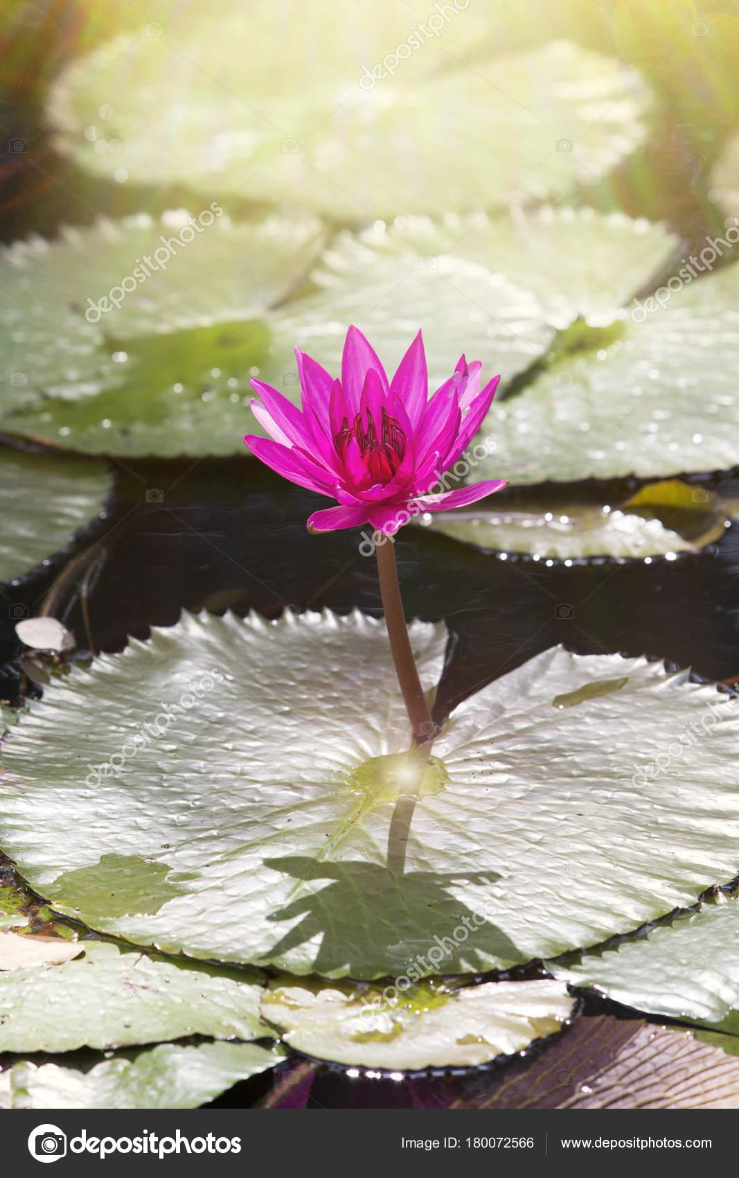 Beautiful lotus flower pond symbol buddha stock photo kanoke46 beautiful lotus flower in pondthe symbol of the buddha photo by kanoke46 izmirmasajfo