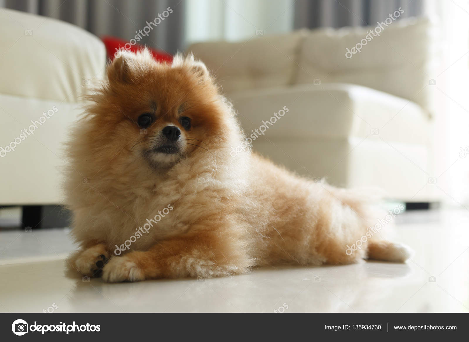 Download Fluffy Brown Adorable Dog - depositphotos_135934730-stock-photo-fluffy-brown-pomeranian-cute-dog  Best Photo Reference_148047  .jpg