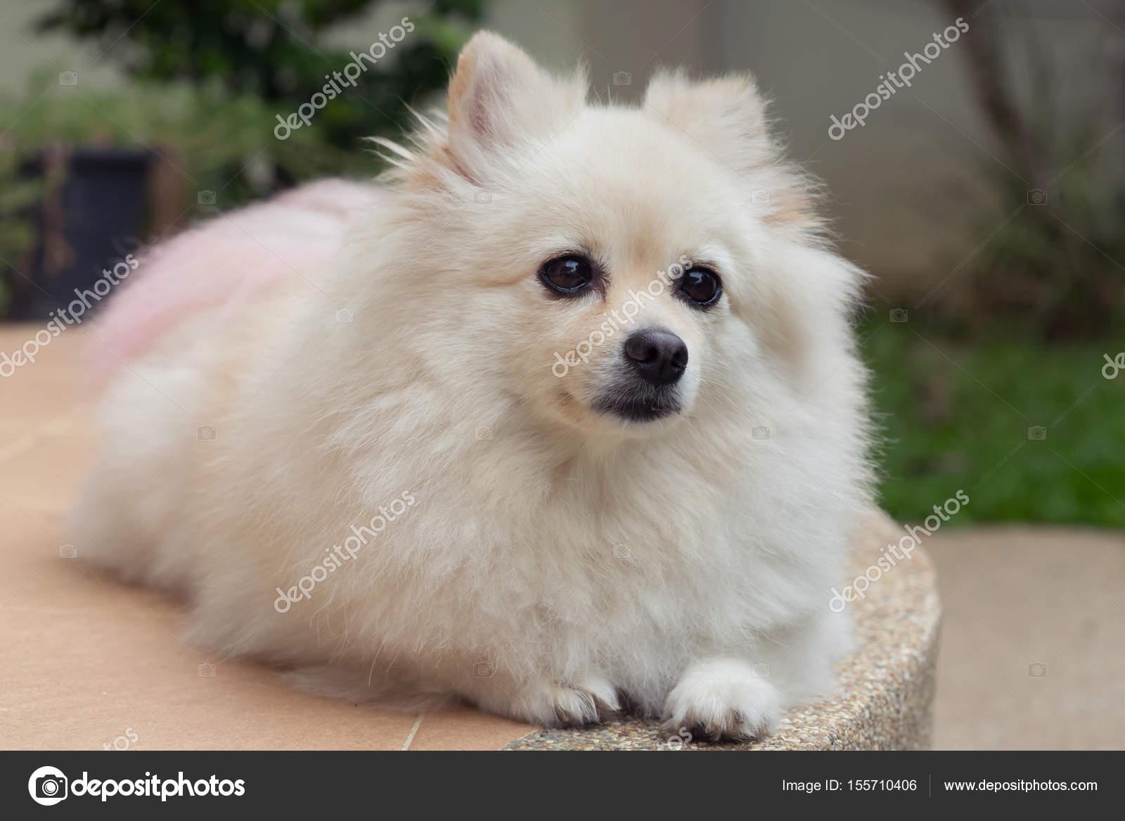 White Pomeranian Cute Dog Stock Photo C Sutichak 155710406