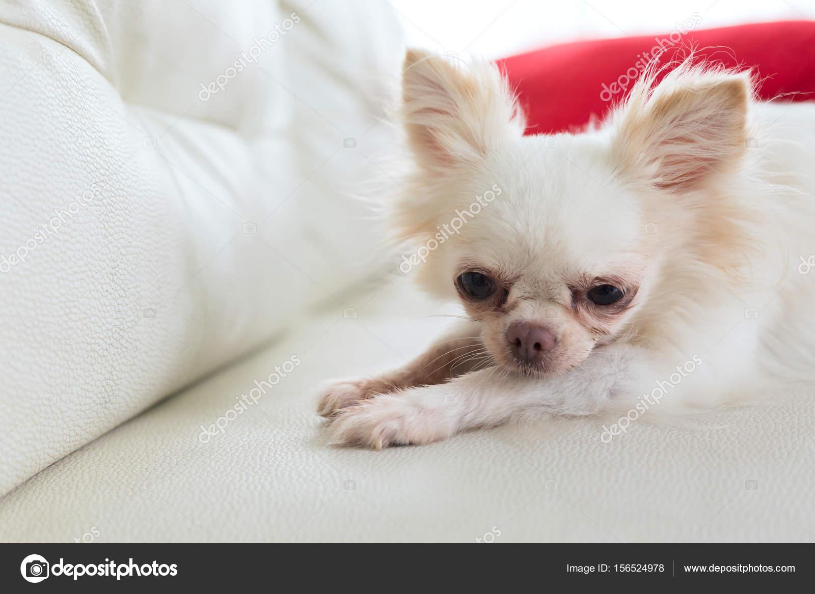 Chihuahua Perro Lindo Del Animal Dom Stico Foto De Stock  # Saja Muebles Chihuahua