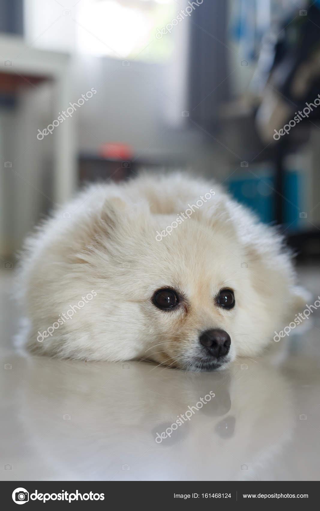 White Pomeranian Cute Dog Stock Photo C Sutichak 161468124