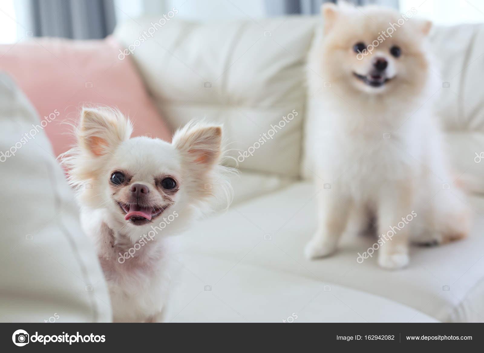 Chihuahua Y Pomerania Perro Lindo Del Animal Dom Stico Feliz  # Saja Muebles Chihuahua