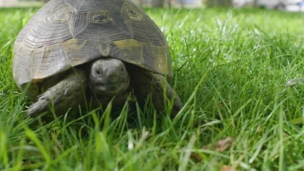 teknős sétál a füvön a mezőn