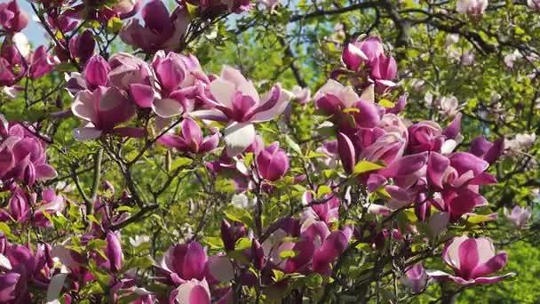 Kvetoucí magnólie květ