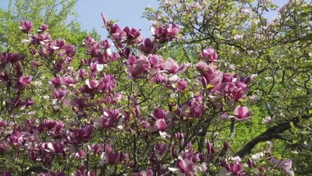 Blooming Magnolia Flower
