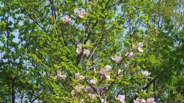 Virágzó magnólia virág