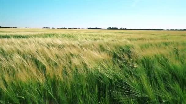 Naleziště pšenice ve větru