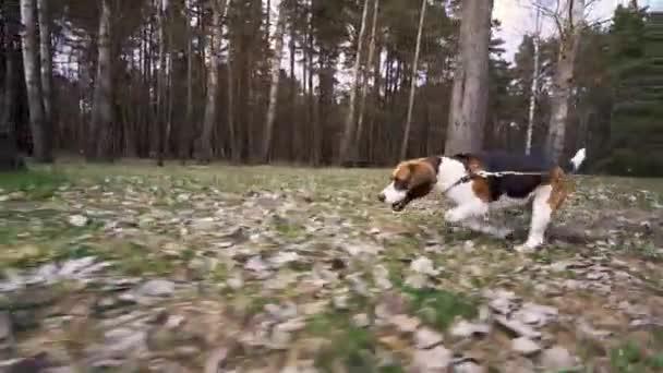 Hound Beagle Dog Runs Through The Spring Park.