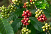 Robusta, red cherry coffee bean on coffee tree