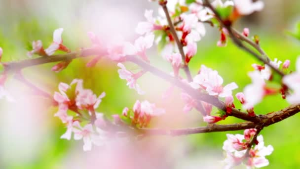 Video Cherry Flowers Krajina