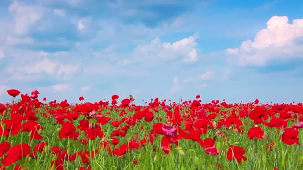 Video of Red Poppies Landscape