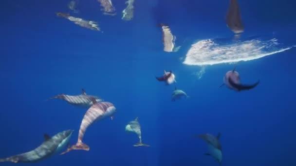 Dech beroucí podvodní rychlostí po krátkozobých delfínech v čistých vodách Modrého oceánu