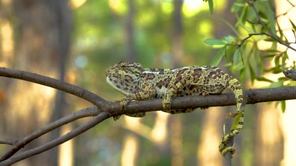 Video Chameleona na stromě