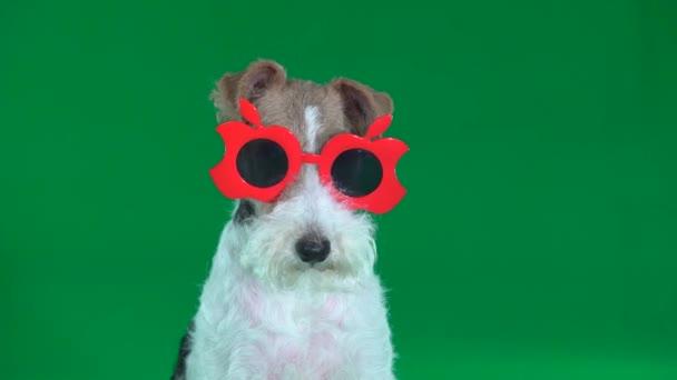 Fox Terrier sitzt in roten Brillen in Großaufnahme auf grünem Bildschirm