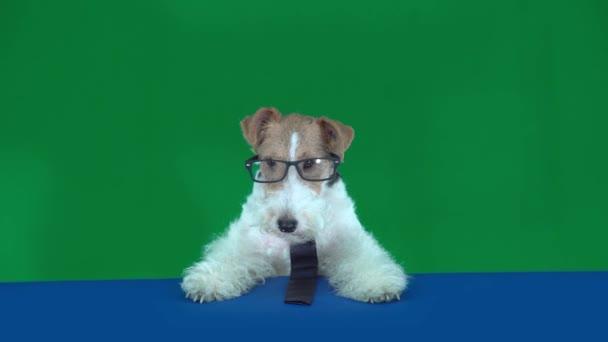 Fox Terrier szemüveggel és nyakkendővel
