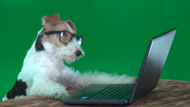 Fox Terrier with Glasses with a Laptop Green Screen