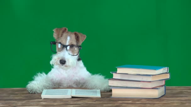Fox Terrier with Glasses Reading Books Green Screen