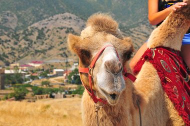 Beautiful Camel close up portrait. Sunny Summer. Nice