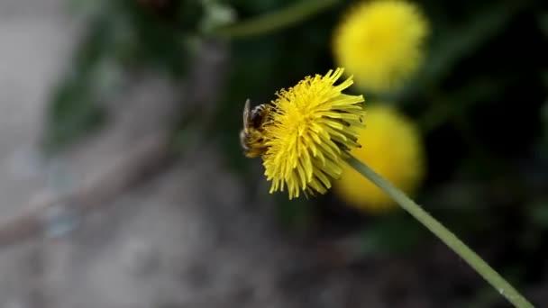 včela na žluté pampelišky