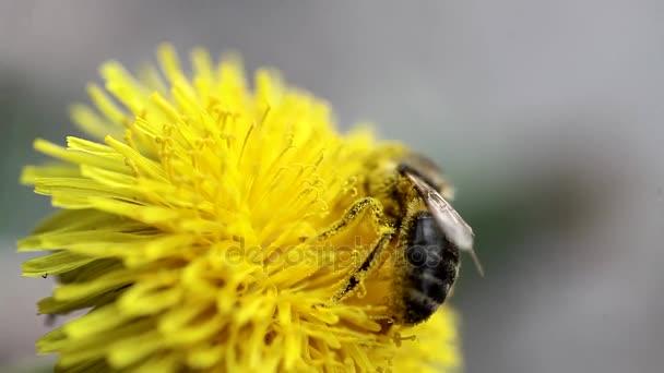 꿀벌은 민들레에 꿀을 수집