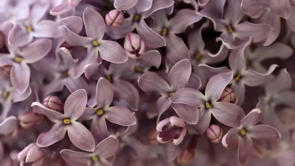 Pozadí z krásné fialové květy lila