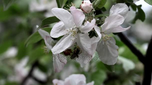 Květiny květy na větve třešeň