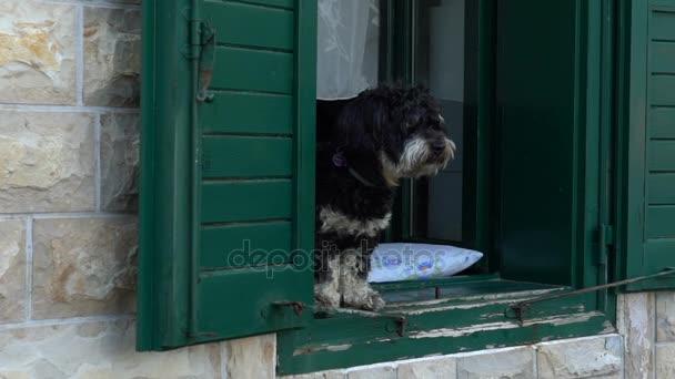 Black Dog na zelené okno kamenný dům štěká na kolemjdoucí