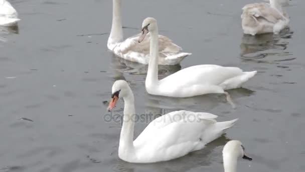 Bílé labutě na vodě. Bílé labutě, koupání v řece. Koupání ptáků