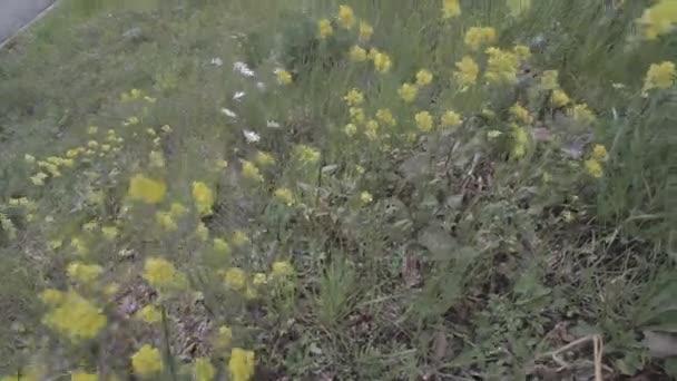 Sedmikrásky a žluté květy na město trávníku ve větru