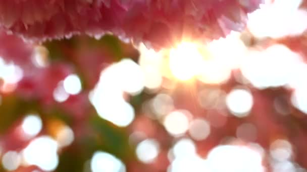 Branches of Sakura Japanese Cherry Blossoms With Pink Flowers and Delicate Petals Swaying in the Wind on Summer Sky Background With Sunshine Close Up
