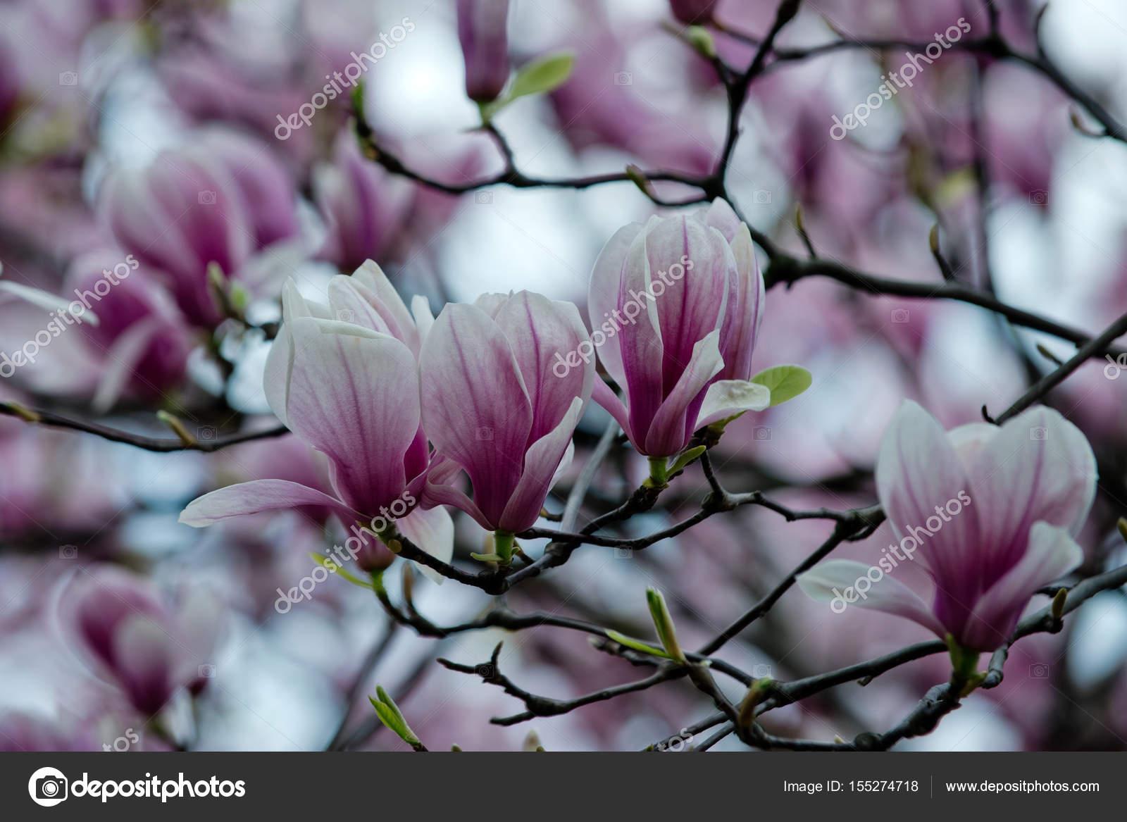 magnolie baum bl te mit rosa bl ten am zweig im garten. Black Bedroom Furniture Sets. Home Design Ideas