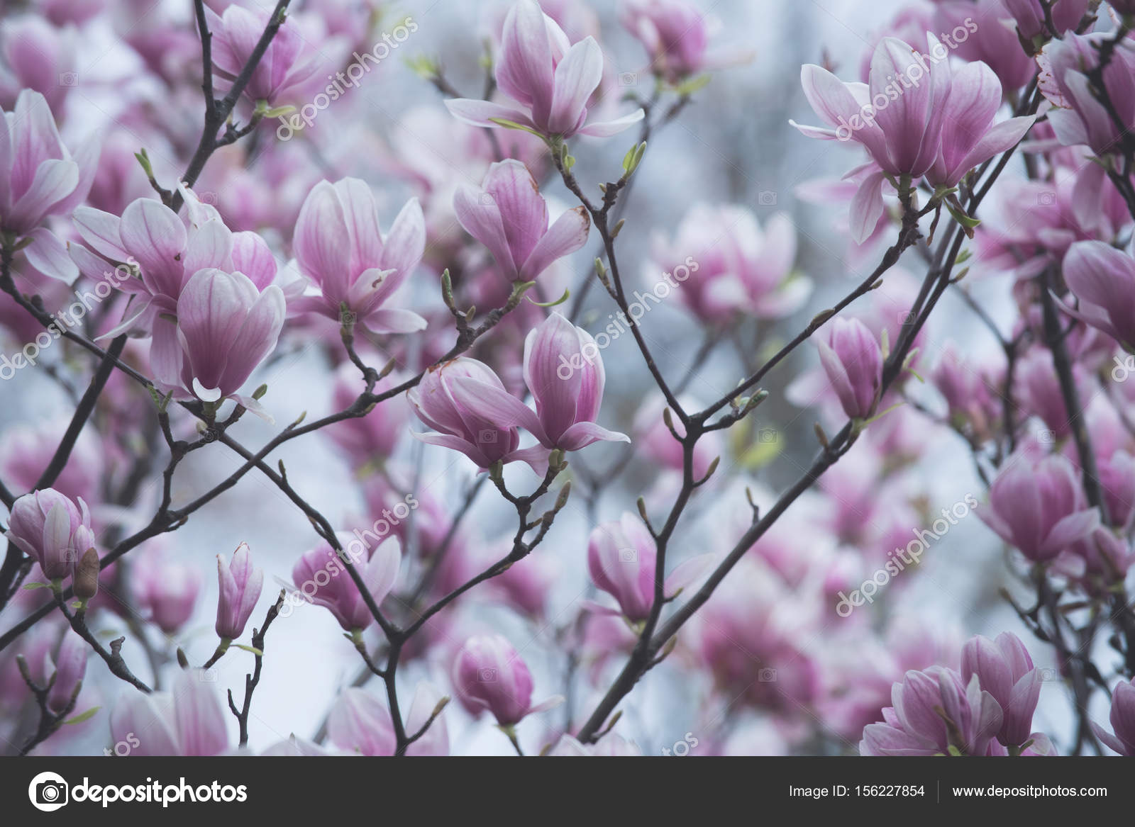 Magnolia tree blossom with pink flowers on branch in garden stock magnolia tree blossom with pink flowers on branch in garden stock photo mightylinksfo