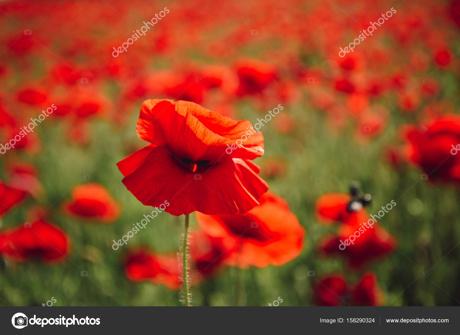 Beauty In Nature Field Of Red Poppy Seed Flower Background Stock