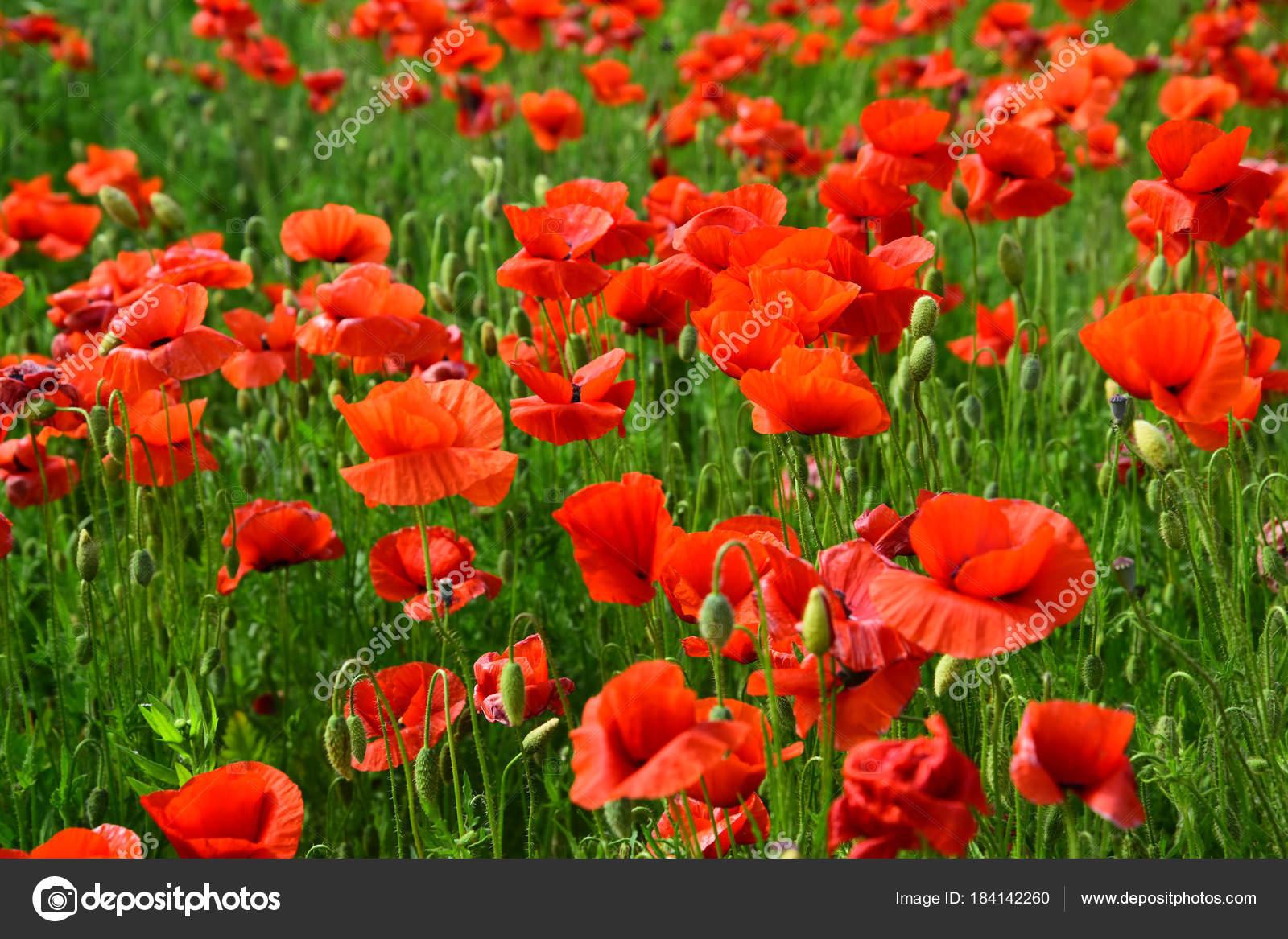 Opium Poppy Botanical Plant Ecology Stock Photo Tverdohlib