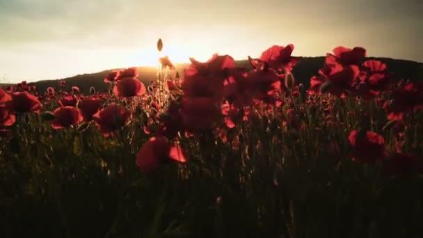 Makové pole. Západ slunce v poli. Červený květ makové pole
