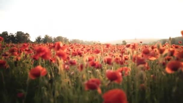 Poppy field. Sunset in the field. Red poppy flower field.