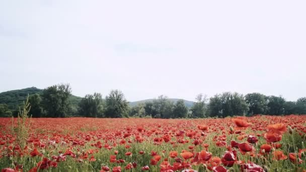 Poppy field. Sunset in the field. Sunrise opium field. Field of red flowers. Beautiful red flowers. Red flower sunset. Great sunset.